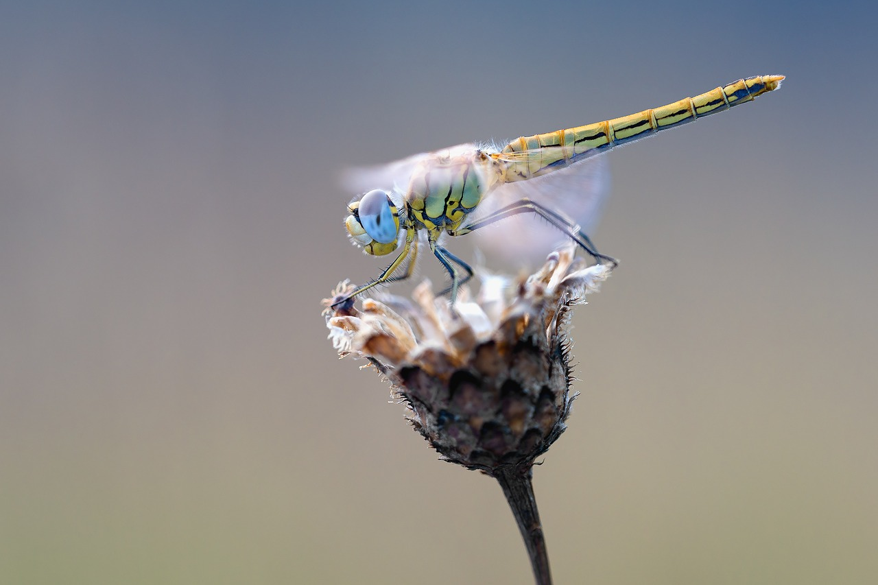 early-heath-dragonfly-2186186_1280