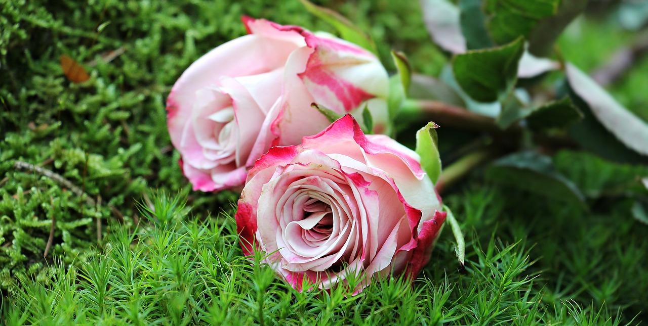 roses-1868669_1280