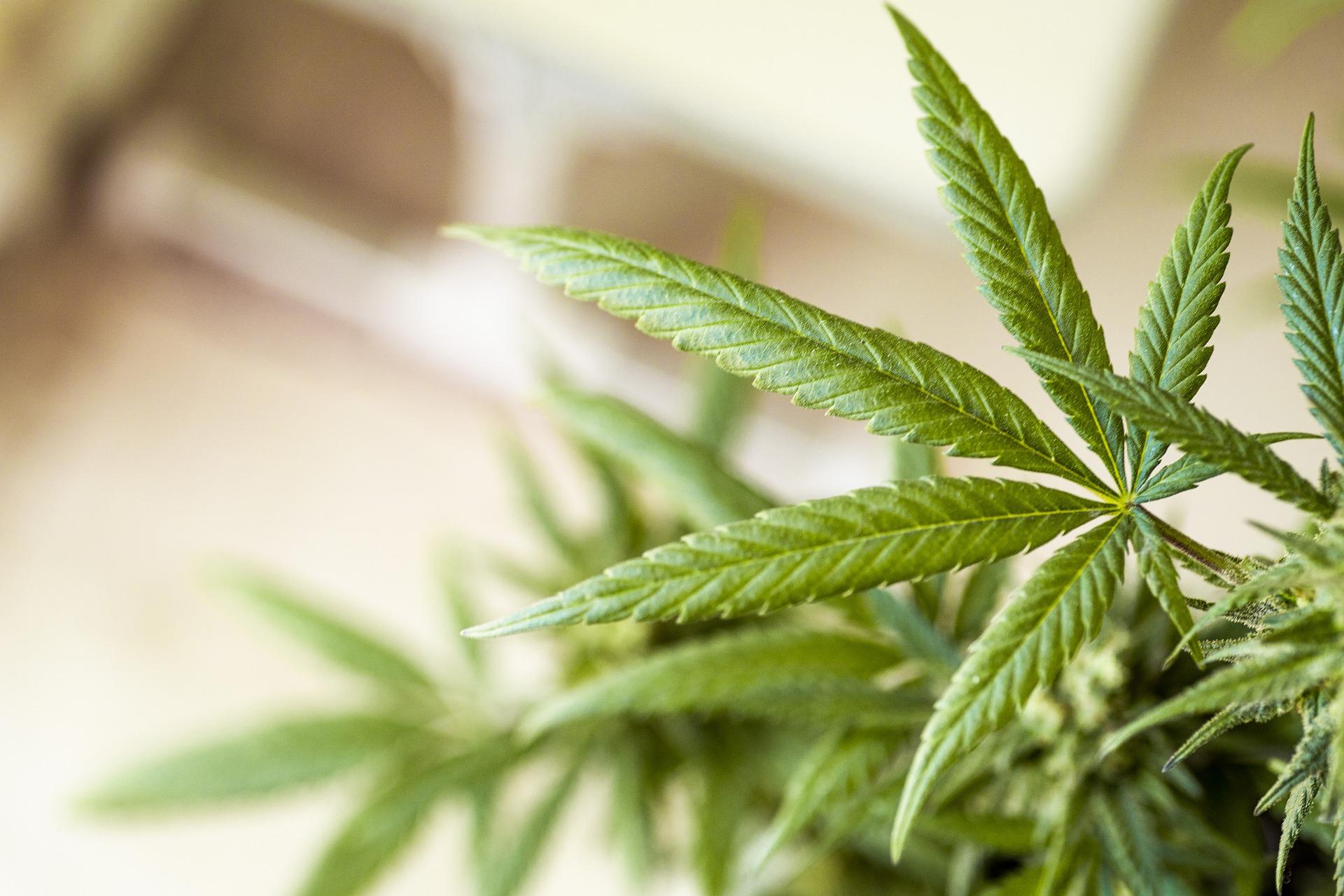 cannabis-5330975_1920